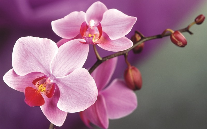 Pink-orchids